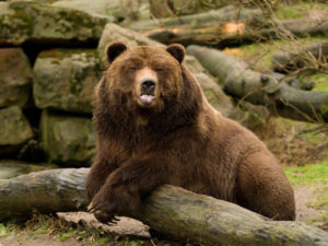Grizzlybär im Zoo Decin © Zoo Decin