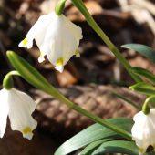 Die Märzenbecherblüte im Polenztal -  in der Sächsischen Schweiz beginnt der Frühling